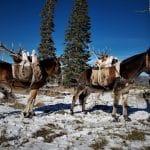 Elk on Mules 2017
